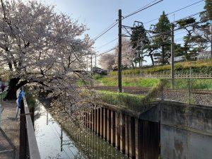都会の人工物と桜の組合わせが素敵