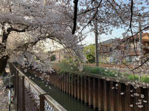 石神井川開渠に枝垂れていく枝もあり