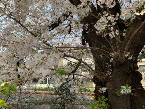幹のいたるところから桜の花が