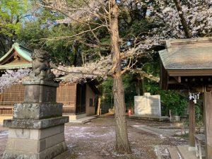 石神井氷川神社境内の桜