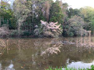 こちらはお馴染みワイルドな三宝寺池側の桜ですね