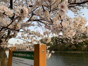 満開の桜アップと池