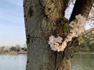 桜ドアップ&池